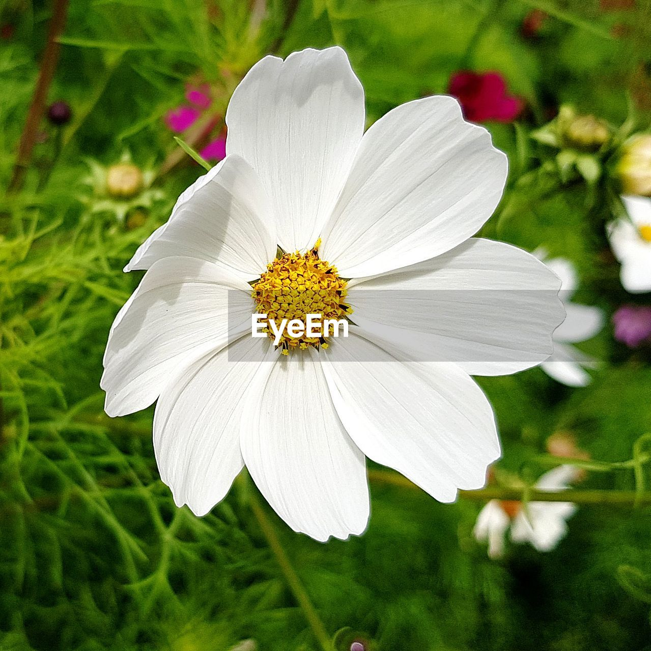 flowering plant, flower, plant, freshness, fragility, petal, vulnerability, growth, beauty in nature, flower head, close-up, inflorescence, focus on foreground, white color, pollen, nature, day, no people, cosmos flower