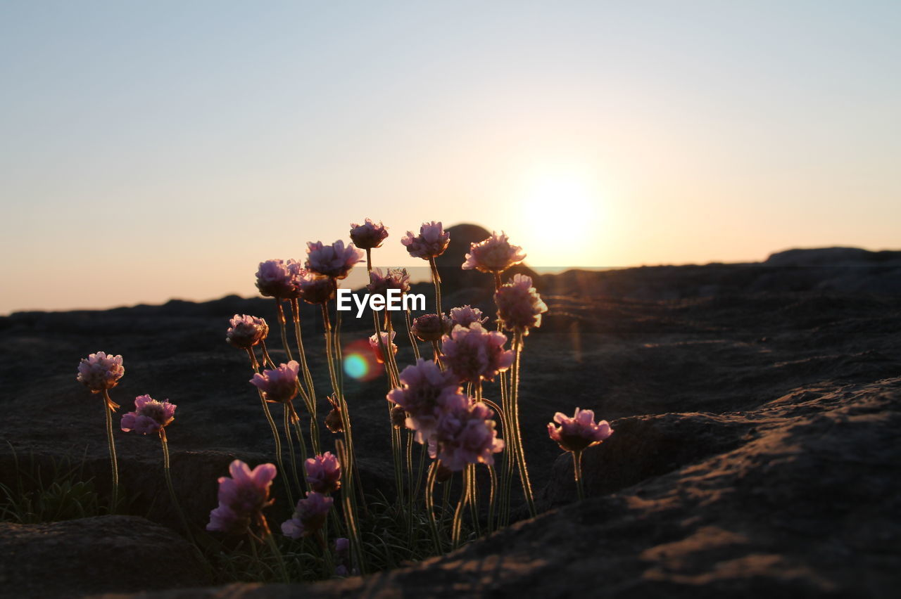 beauty in nature, growth, flower, plant, flowering plant, sky, nature, tranquility, close-up, sunset, no people, field, vulnerability, fragility, land, sunlight, outdoors, freshness, environment, flower head