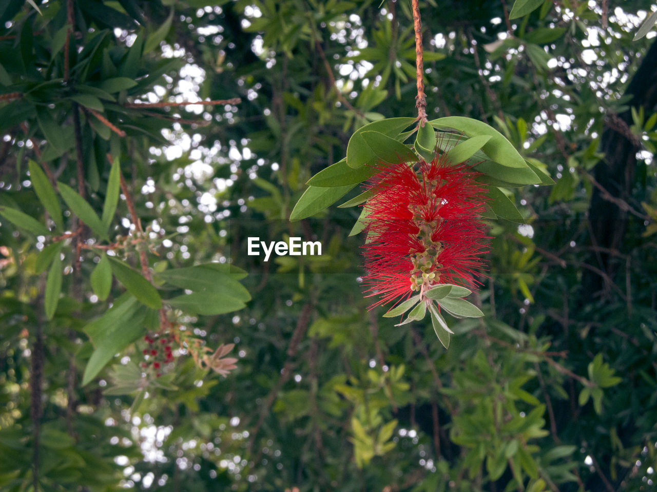 growth, red, leaf, green color, day, nature, tree, plant, fruit, outdoors, no people, freshness, beauty in nature, low angle view, flower, branch, fragility, close-up, hibiscus, flower head