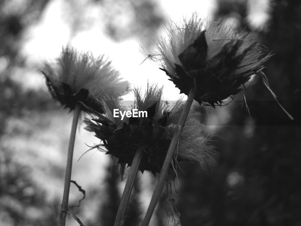 CLOSE-UP OF WILTED THISTLE AGAINST PLANTS