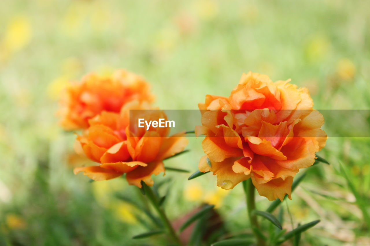 flower, nature, beauty in nature, plant, orange color, petal, no people, fragility, growth, freshness, outdoors, flower head, day, focus on foreground, close-up, blooming