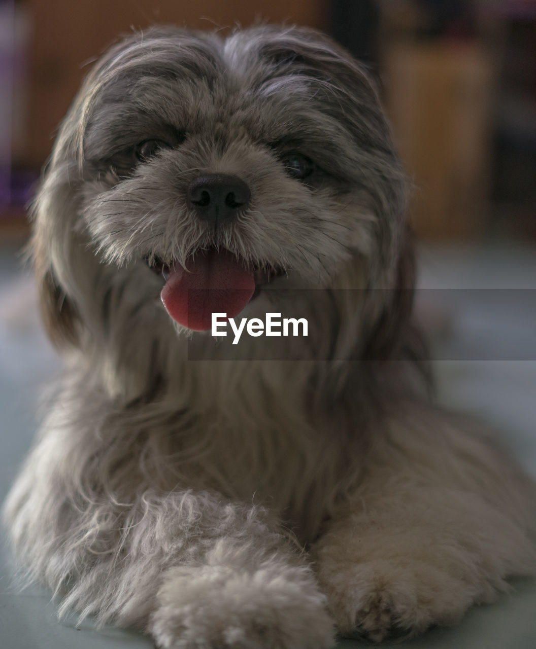 domestic, pets, one animal, dog, canine, domestic animals, animal, mammal, animal themes, vertebrate, focus on foreground, close-up, indoors, no people, animal hair, portrait, facial expression, animal body part, hair, home interior, animal tongue, animal head, mouth open, shih tzu, animal mouth