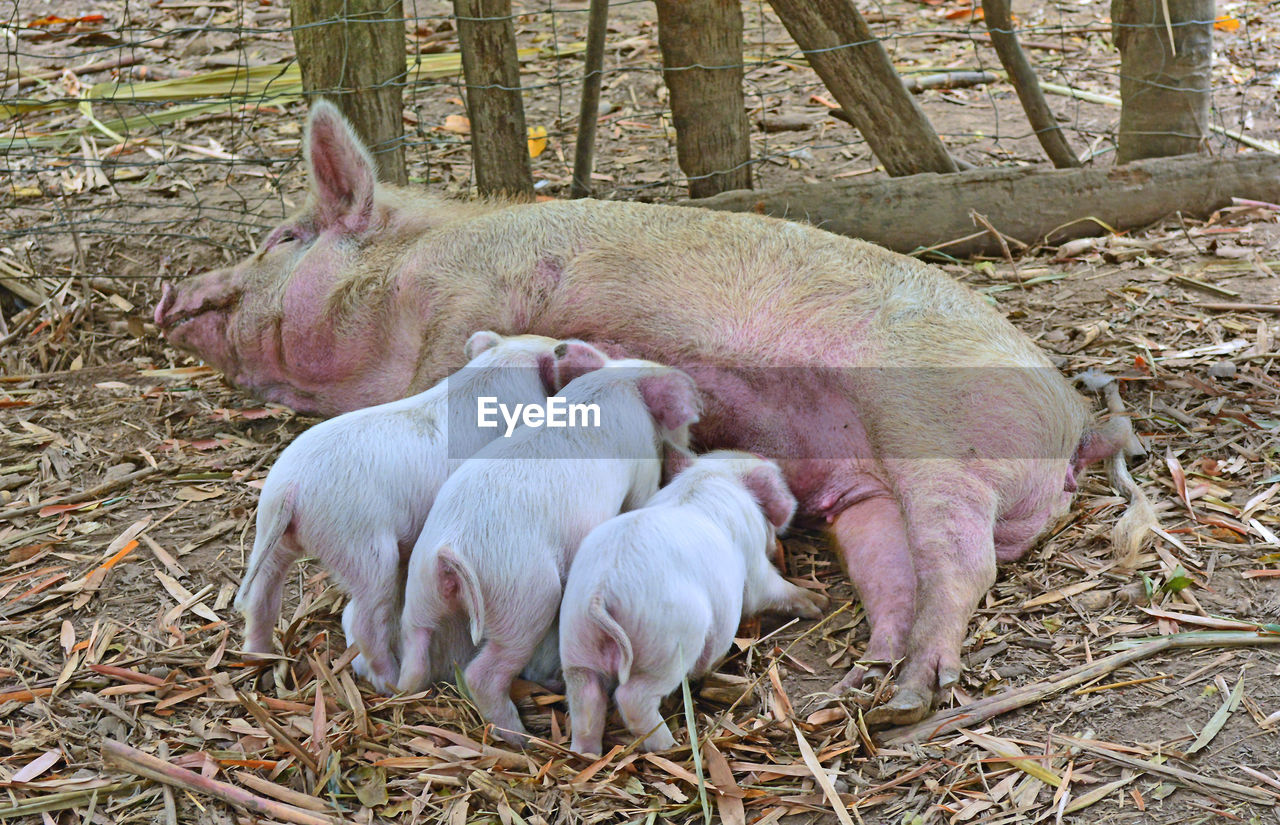 mammal, animal, animal themes, pig, group of animals, piglet, young animal, vertebrate, domestic animals, pets, domestic, livestock, no people, nature, plant, animal family, agriculture, relaxation, day, land, outdoors