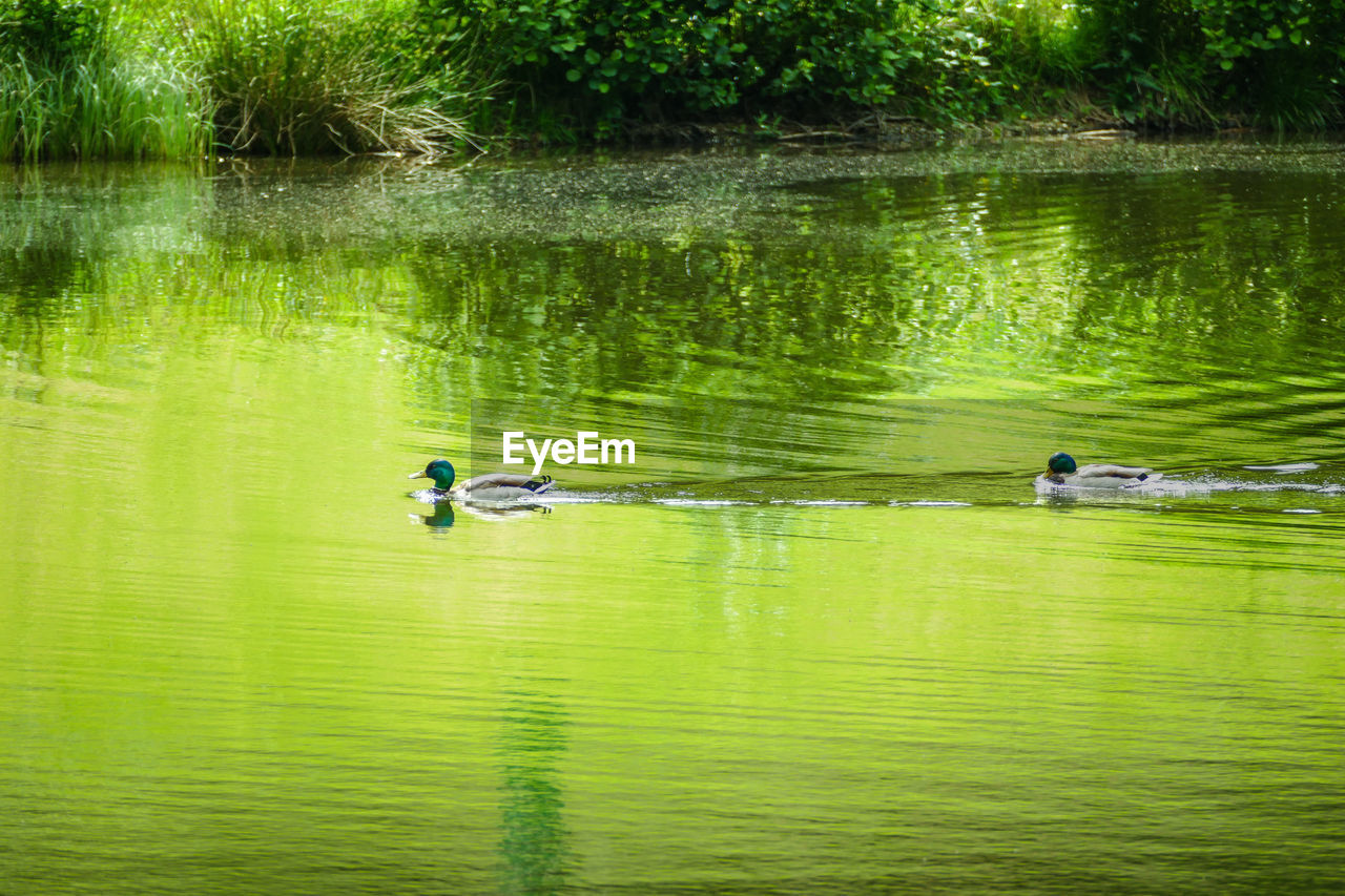 water, lake, reflection, waterfront, animal themes, animals in the wild, animal, animal wildlife, group of animals, bird, nature, swimming, vertebrate, day, plant, duck, beauty in nature, two animals, poultry, no people, outdoors, floating on water