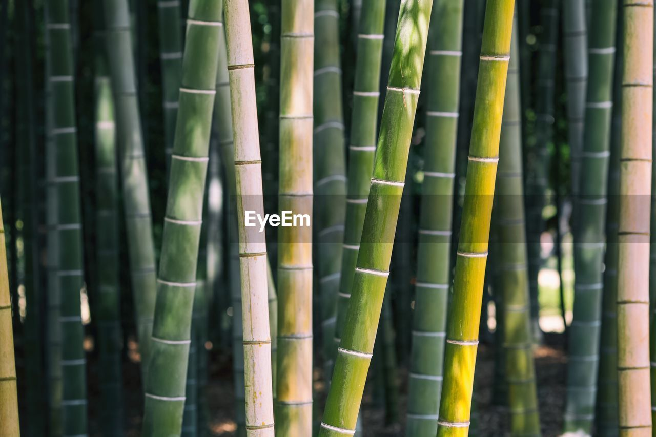 bamboo - plant, bamboo, green color, bamboo grove, no people, day, growth, plant, full frame, nature, backgrounds, close-up, beauty in nature, focus on foreground, outdoors, pattern, tranquility, forest, land, tree