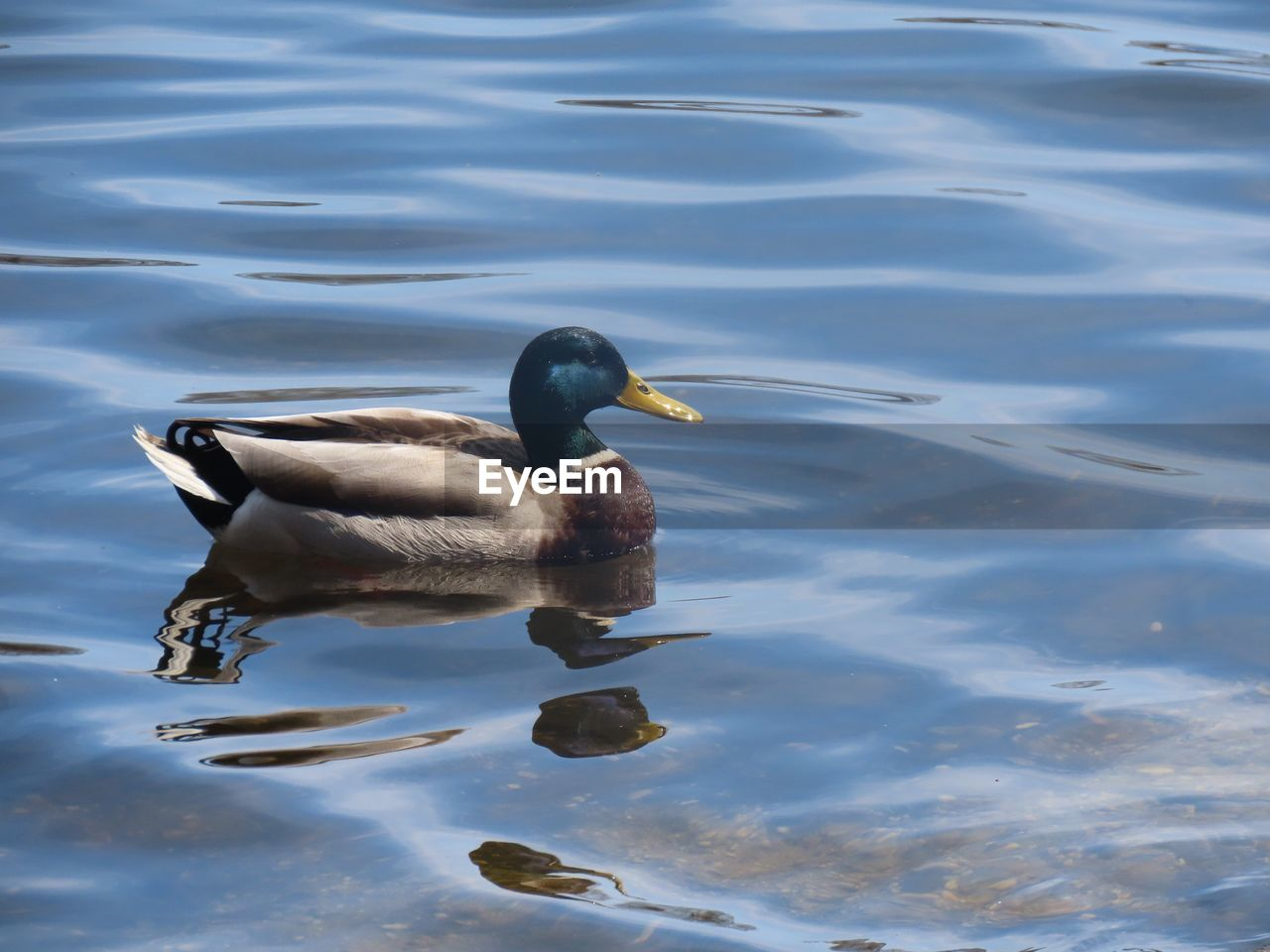 animals in the wild, water, animal wildlife, bird, animal, animal themes, lake, swimming, vertebrate, one animal, waterfront, duck, day, no people, nature, poultry, reflection, male animal, water bird, outdoors