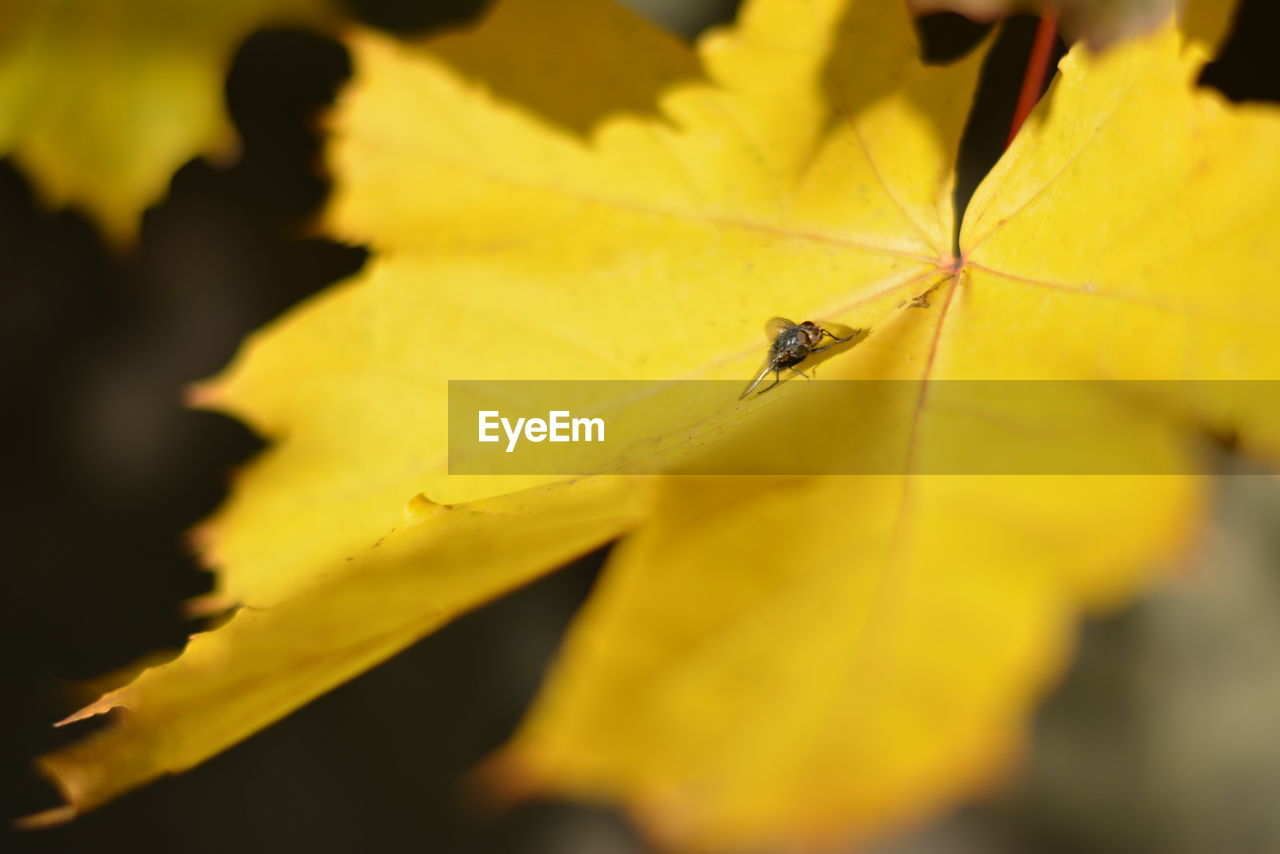 one animal, insect, animals in the wild, animal themes, yellow, nature, selective focus, leaf, close-up, outdoors, beauty in nature, animal wildlife, day, growth, no people, fragility, freshness