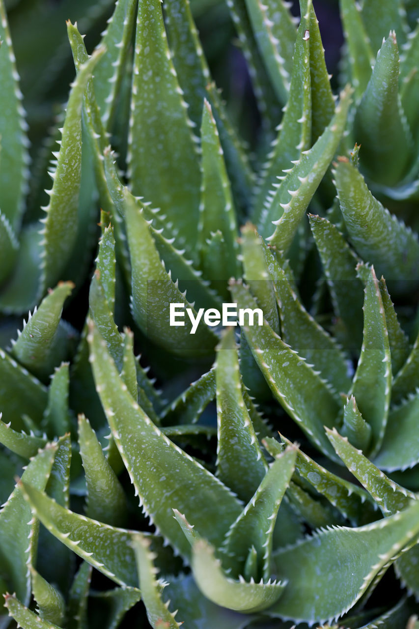 green color, growth, succulent plant, plant, plant part, beauty in nature, no people, leaf, close-up, full frame, cactus, nature, aloe vera plant, backgrounds, thorn, spiked, sharp, aloe, day, selective focus, outdoors, spiky