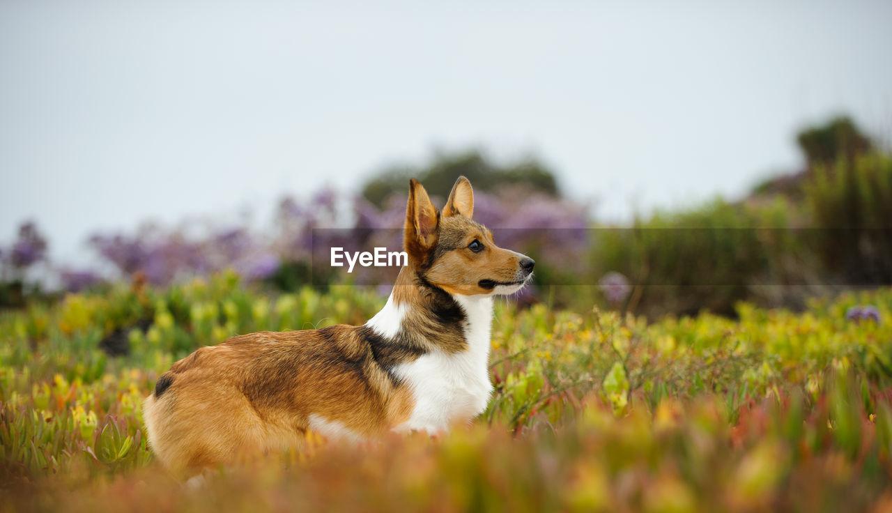 Side view of pembroke welsh corgi dog on field