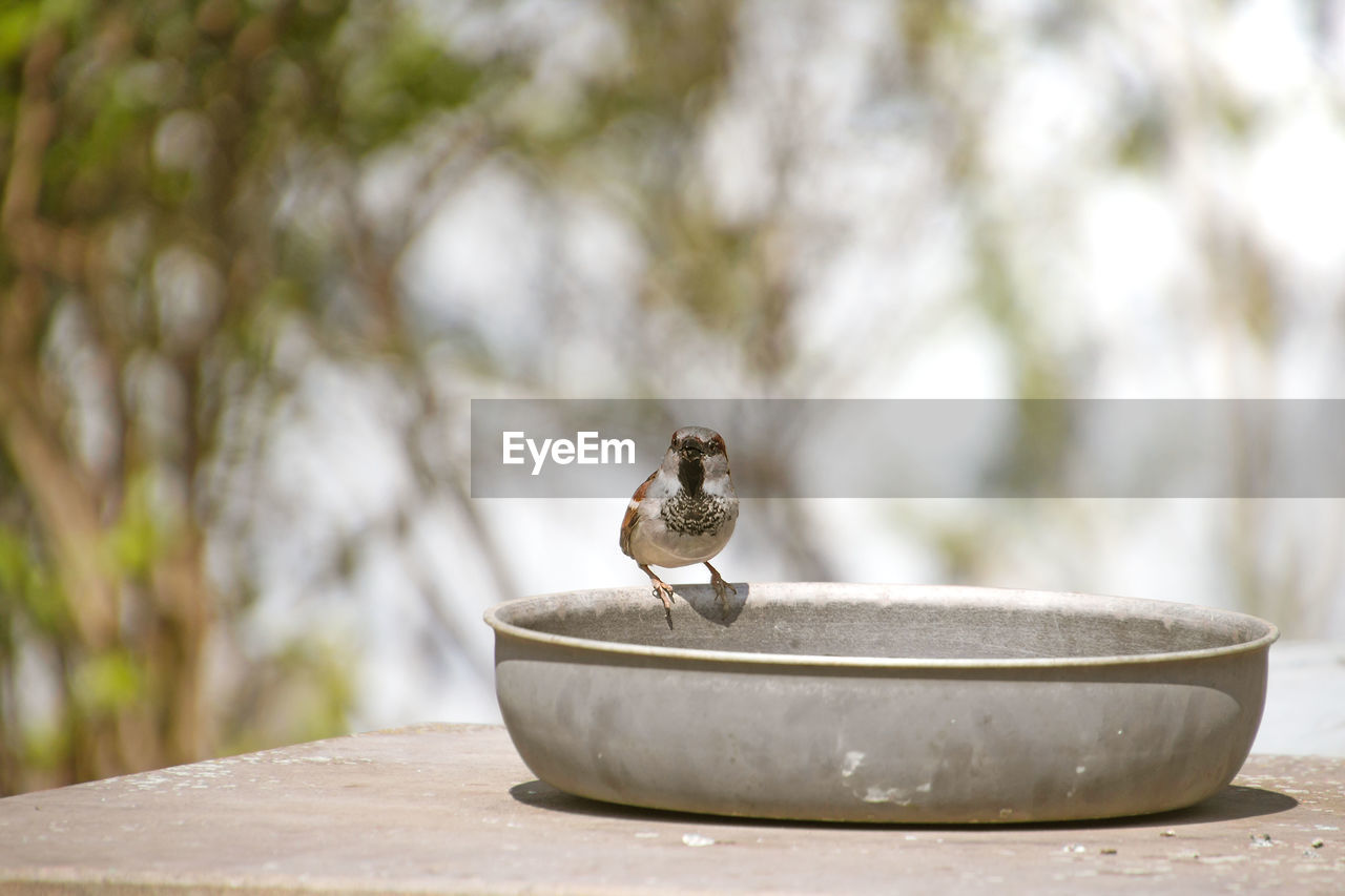 focus on foreground, no people, day, animal themes, animal, one animal, animal wildlife, vertebrate, animals in the wild, table, close-up, nature, selective focus, metal, outdoors, wood - material, plant, sparrow, wall, tree