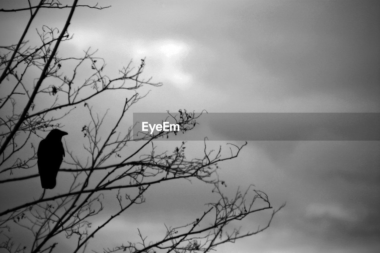 SILHOUETTE OF BIRD PERCHING ON BARE TREE AGAINST SKY