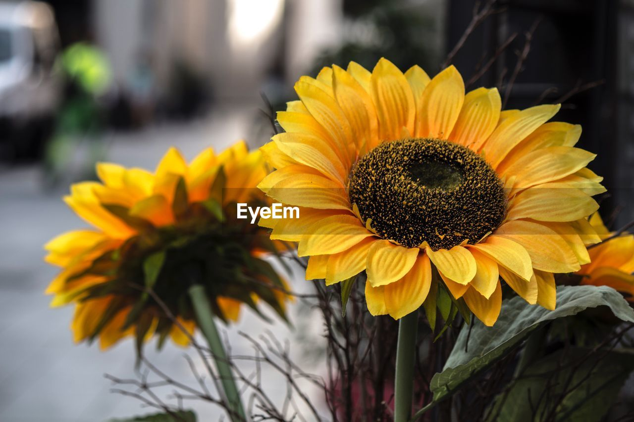 Close-up of sunflowers blooming by street