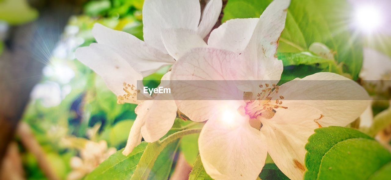 flowering plant, flower, plant, beauty in nature, petal, freshness, vulnerability, growth, fragility, close-up, flower head, inflorescence, nature, sunlight, day, pollen, no people, selective focus, focus on foreground, outdoors, lens flare, springtime