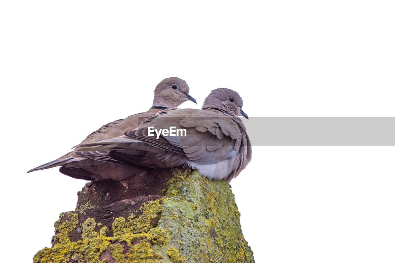 Mourning Doves On Rock Against Clear Sky