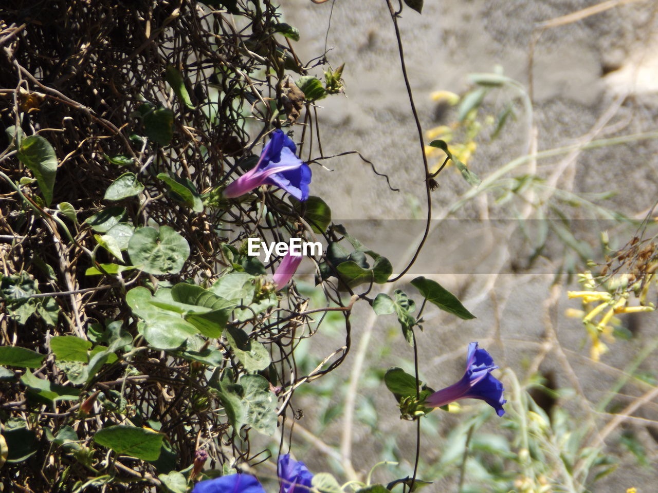 plant, flowering plant, flower, growth, freshness, beauty in nature, purple, vulnerability, fragility, petal, nature, close-up, no people, day, plant part, leaf, flower head, inflorescence, focus on foreground, plant stem, outdoors