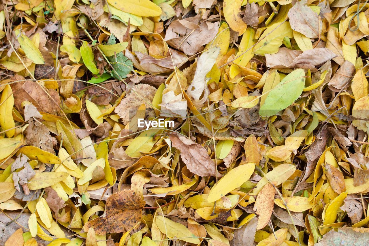 HIGH ANGLE VIEW OF DRY LEAVES ON FALLEN AUTUMN