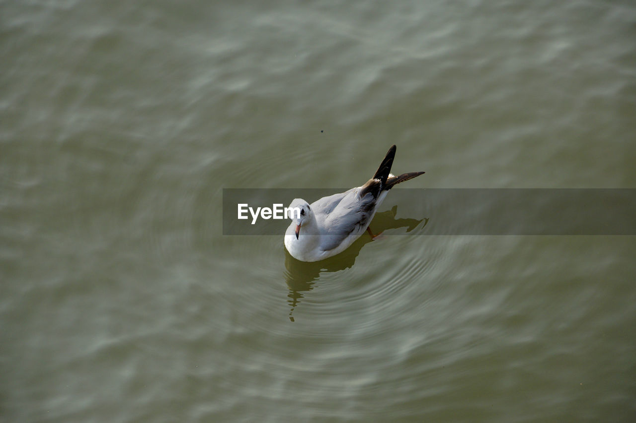 bird, water, vertebrate, animal themes, animals in the wild, animal wildlife, animal, one animal, waterfront, lake, swimming, day, no people, high angle view, nature, water bird, outdoors, motion, rippled, seagull