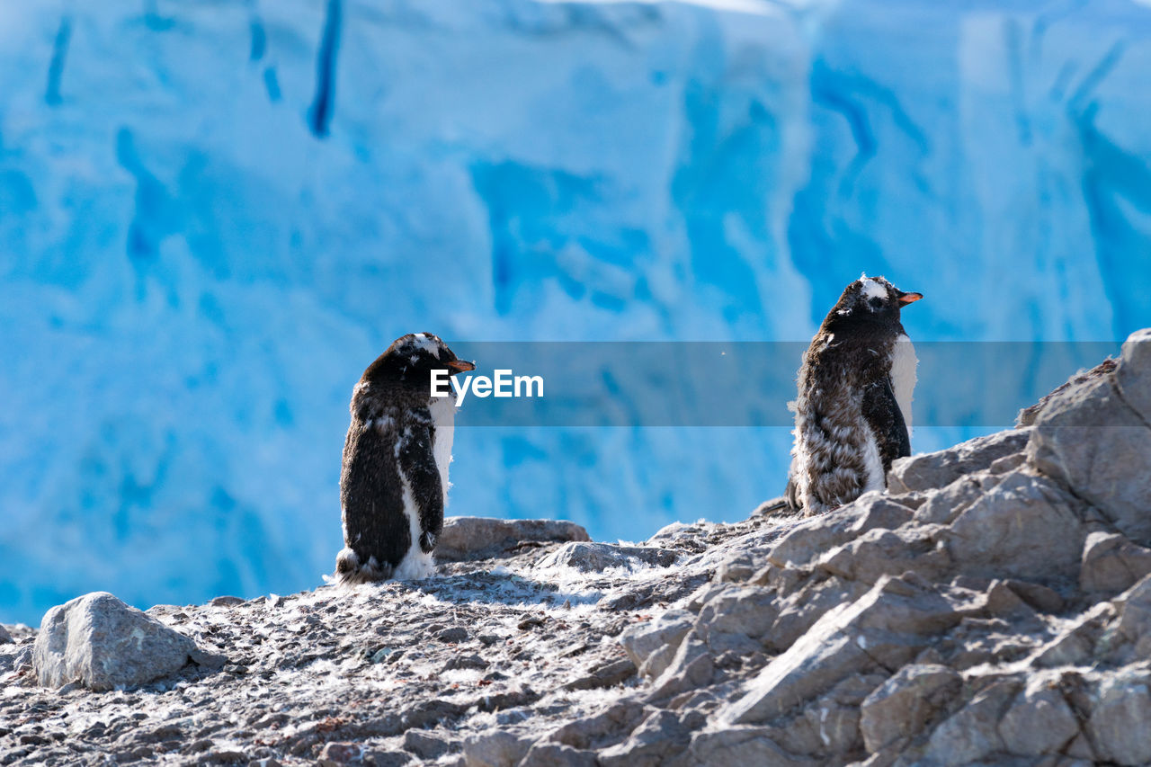 Scenic View Of Penguins On Rock