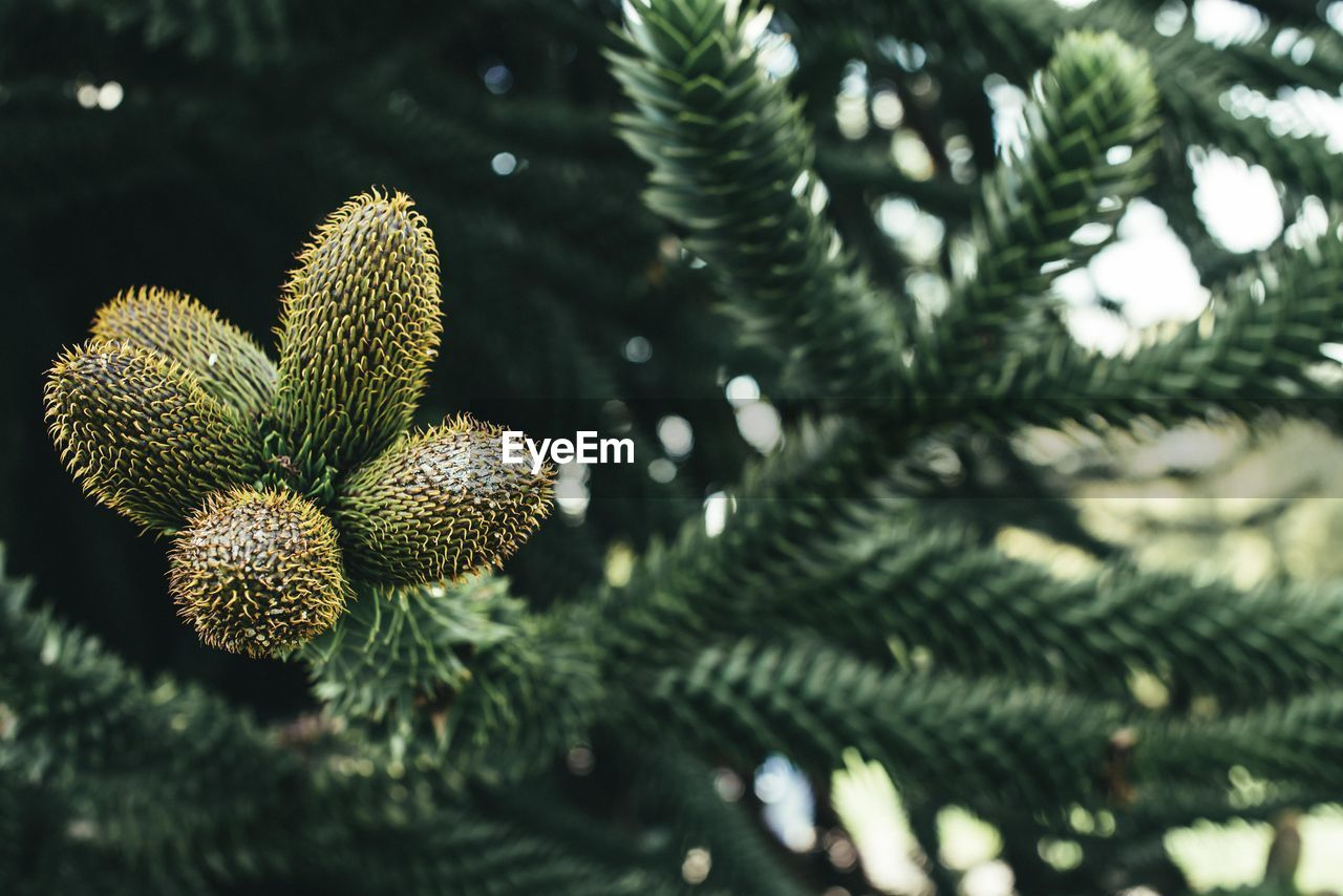 Close-up of pine cones growing on tree