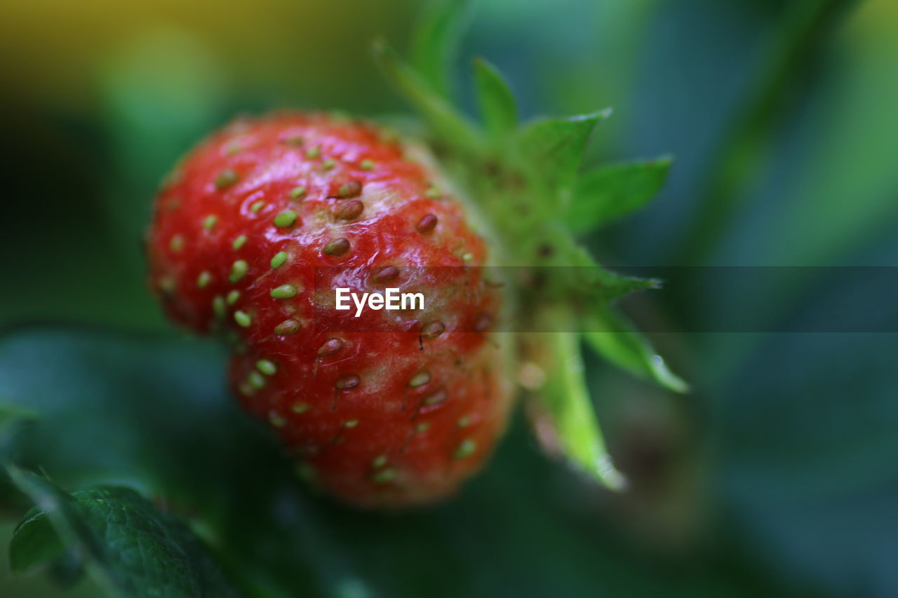 Close-Up Of Strawberry Growing In Garden