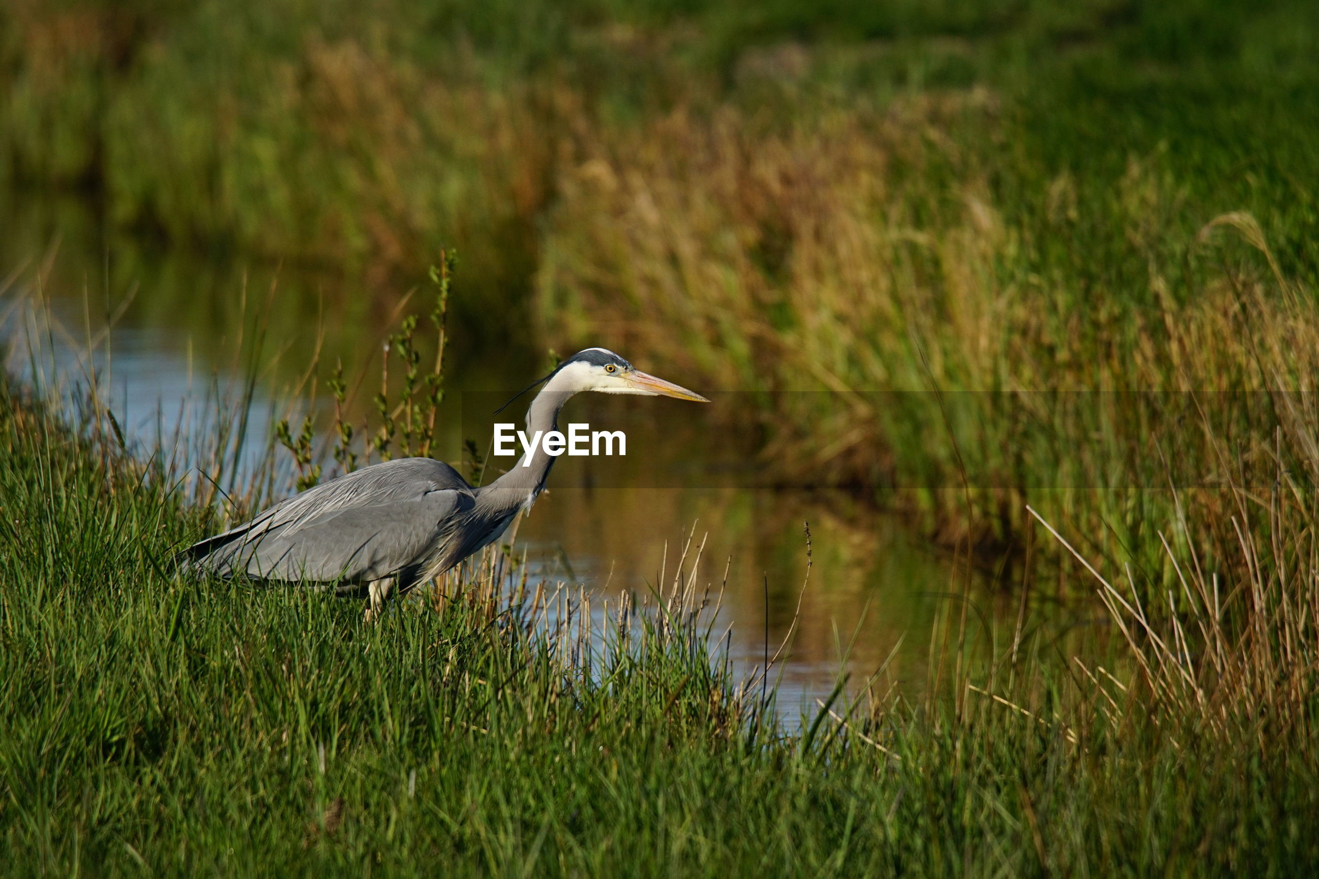 HIGH ANGLE VIEW OF GRAY HERON