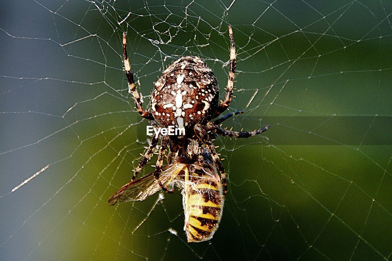 Close-up of spider with dead bee in web