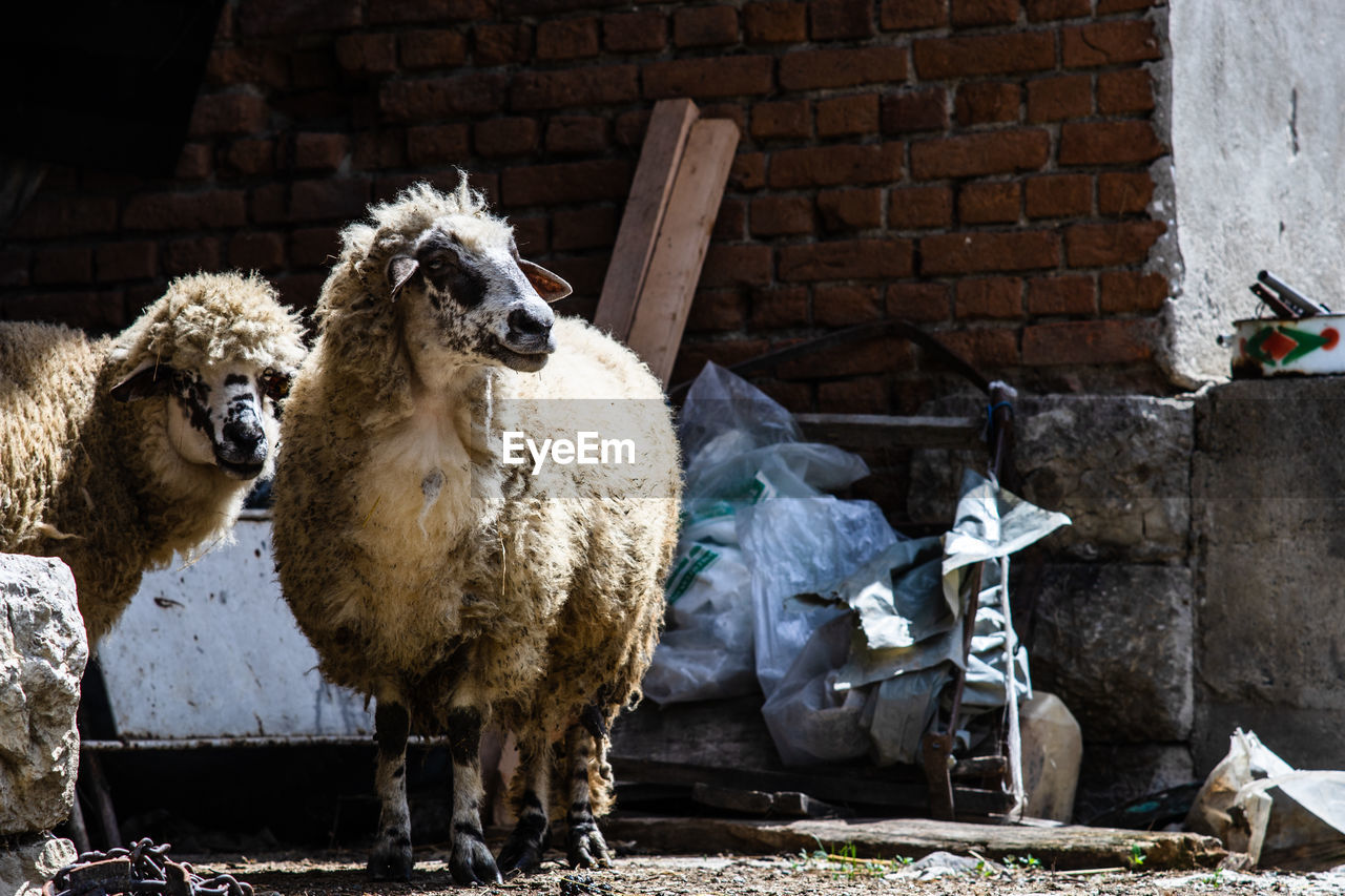 animal themes, mammal, animal, domestic animals, group of animals, livestock, domestic, vertebrate, pets, day, brick, no people, brick wall, sheep, wall, wall - building feature, architecture, two animals, outdoors