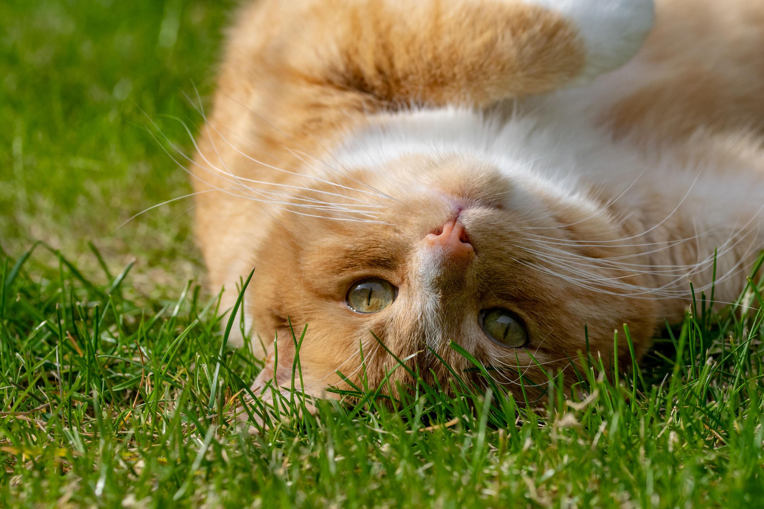 Playful ginger pet cat lying on back on grass garden