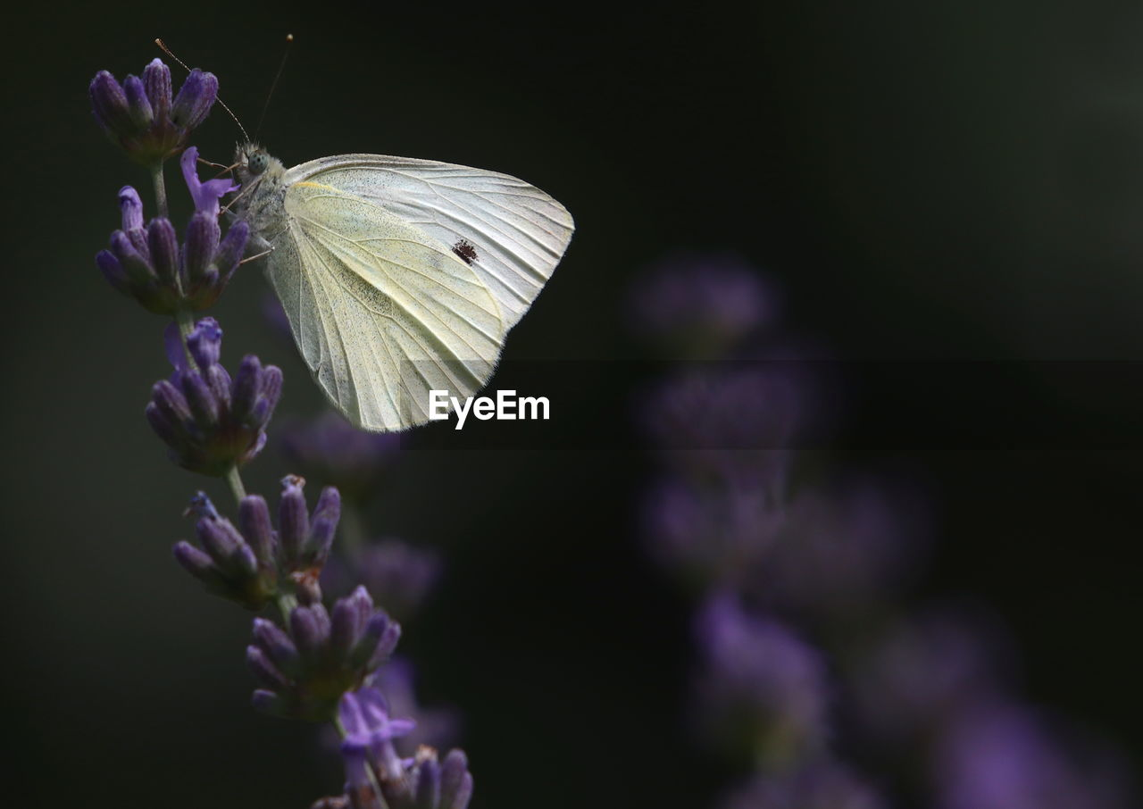 flower, flowering plant, vulnerability, fragility, purple, beauty in nature, freshness, plant, petal, close-up, growth, flower head, inflorescence, nature, focus on foreground, no people, insect, butterfly - insect, selective focus, one animal, animal wing, outdoors, lavender, pollen, pollination, butterfly