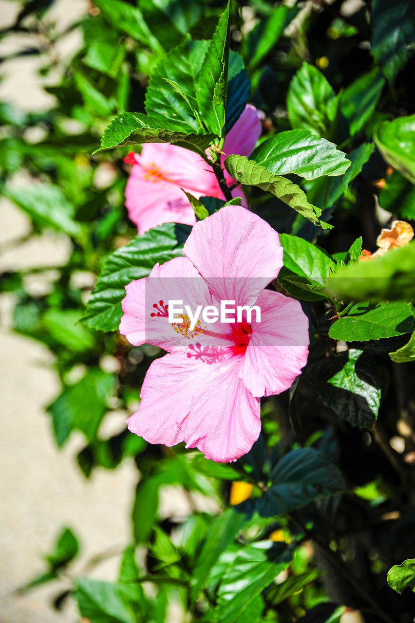 flower, petal, flower head, nature, fragility, beauty in nature, pink color, plant, growth, day, freshness, outdoors, no people, green color, leaf, stamen, close-up, blooming, hibiscus