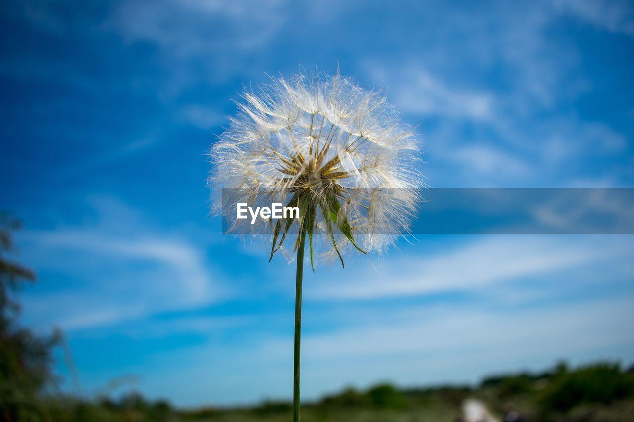 CLOSE-UP OF DANDELION PLANT AGAINST SKY