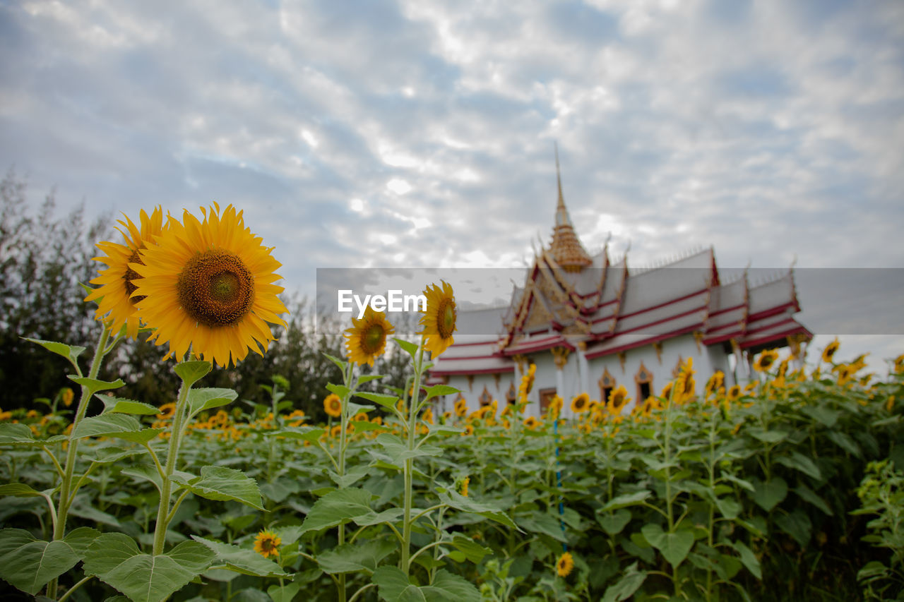 Sunflowers Blooming At Field By Temple Against Cloudy Sky