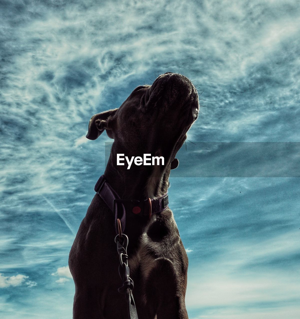 cloud - sky, one animal, mammal, domestic animals, sky, domestic, pets, animal themes, animal, vertebrate, day, horse, nature, animal body part, rear view, animal wildlife, animal head, low angle view, dog, collar, outdoors, weimaraner