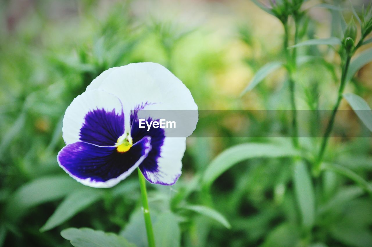 flower, flowering plant, plant, freshness, fragility, beauty in nature, vulnerability, petal, growth, flower head, inflorescence, close-up, purple, focus on foreground, nature, day, pansy, no people, green color