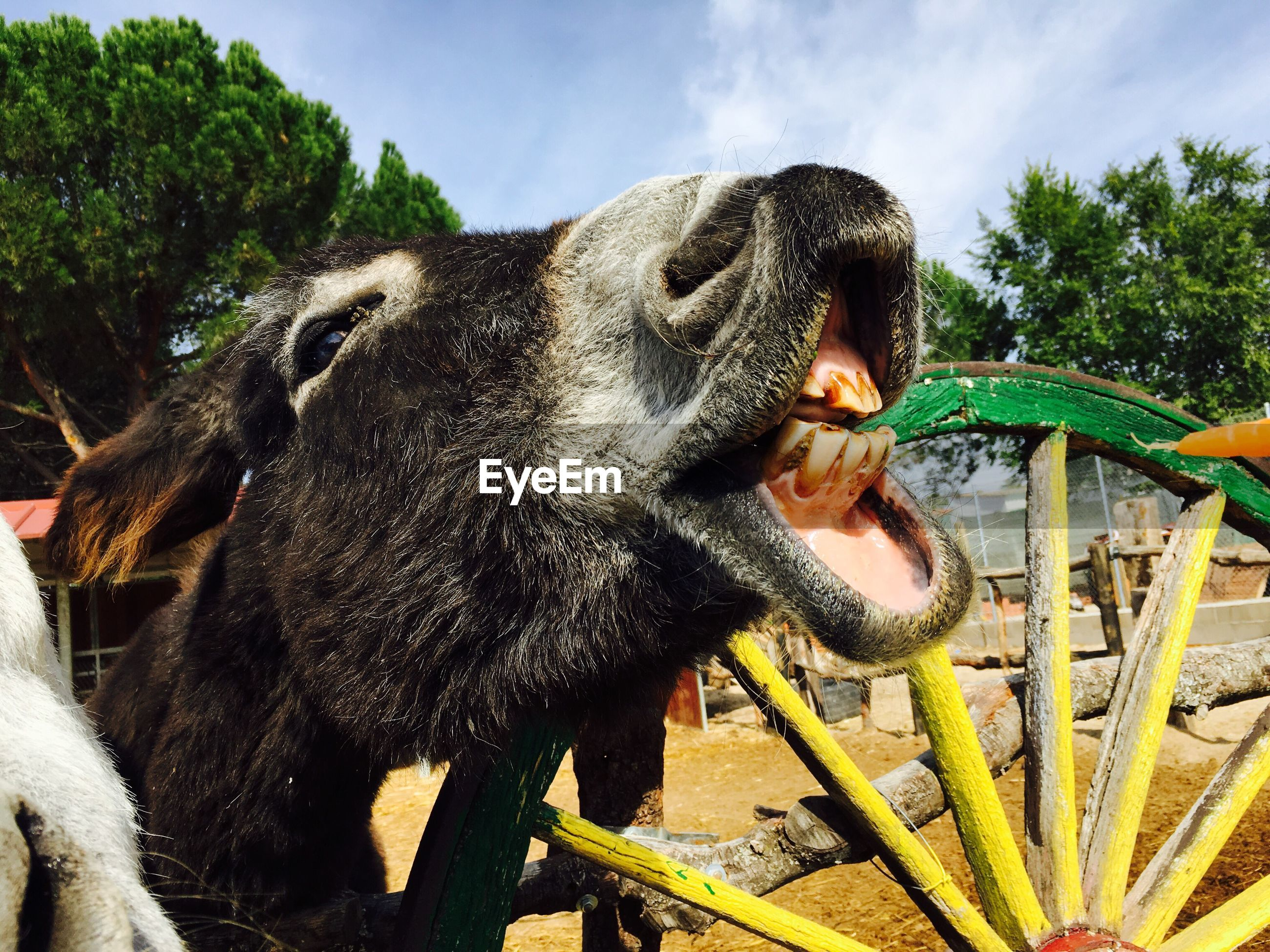 Close-up of donkey laughing by wooden wheel