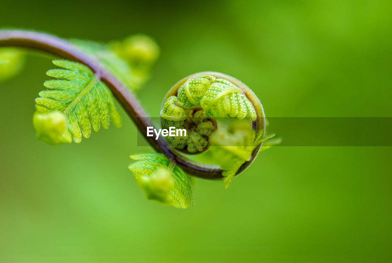 green color, close-up, plant, leaf, plant part, no people, selective focus, growth, nature, focus on foreground, freshness, beauty in nature, day, outdoors, fragility, vulnerability, tendril, plant stem, food, healthy eating