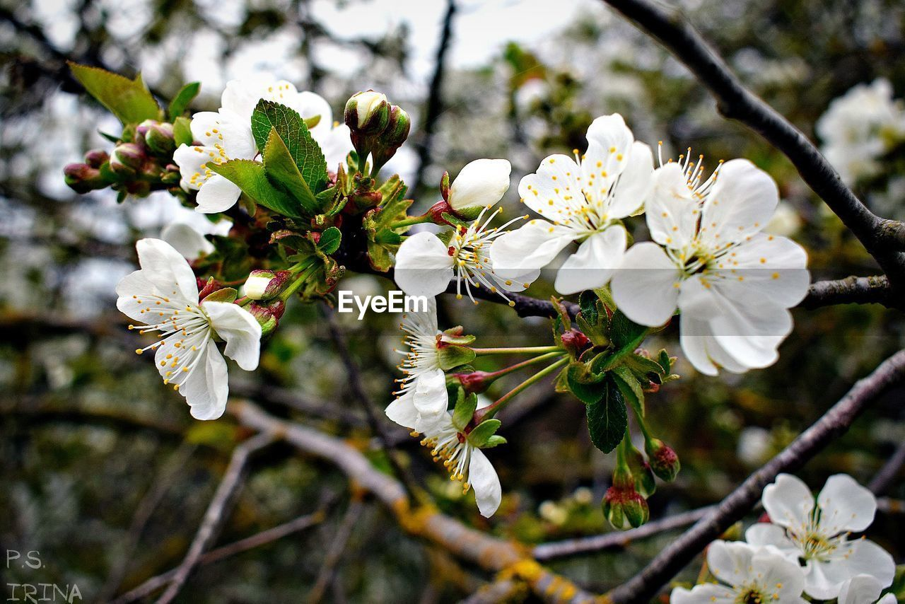 flower, white color, tree, apple blossom, fragility, branch, nature, growth, blossom, apple tree, beauty in nature, springtime, twig, freshness, petal, orchard, botany, no people, stamen, day, blooming, flower head, pollen, plum blossom, outdoors, close-up