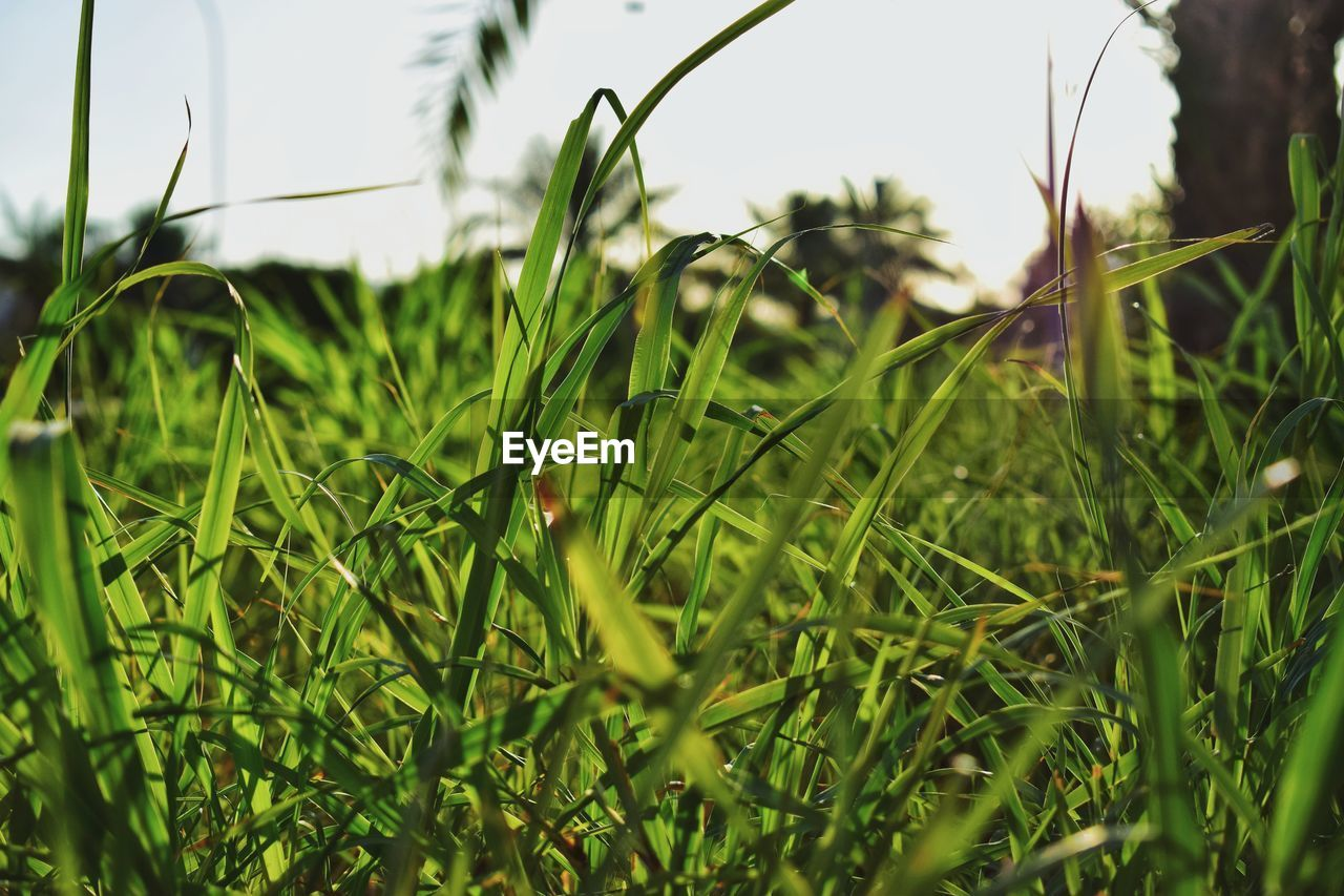 plant, green color, growth, selective focus, grass, nature, field, day, close-up, land, no people, tranquility, beauty in nature, outdoors, blade of grass, focus on foreground, leaf, plant part, sky, one animal
