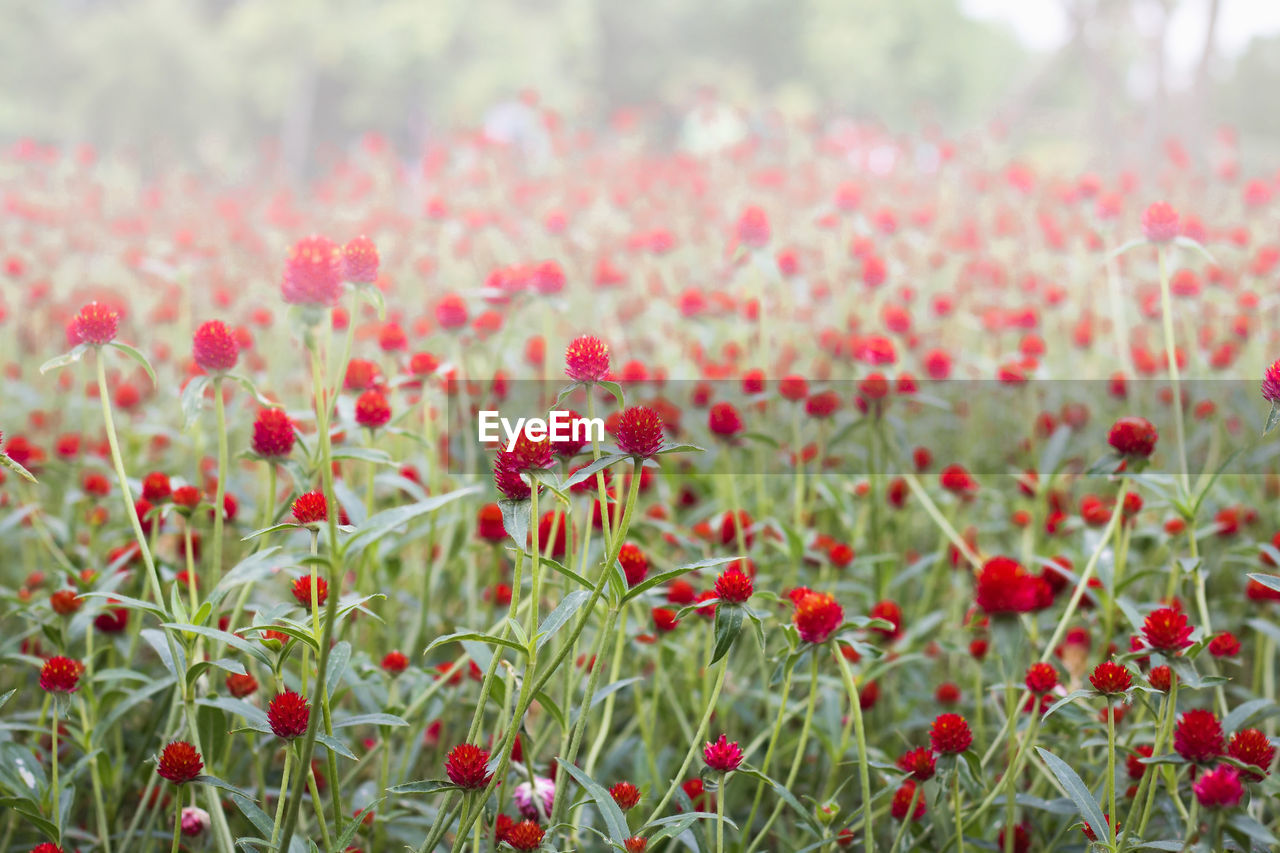 red, flower, nature, growth, plant, freshness, field, outdoors, day, no people, focus on foreground, close-up, fragility, poppy, beauty in nature, flower head