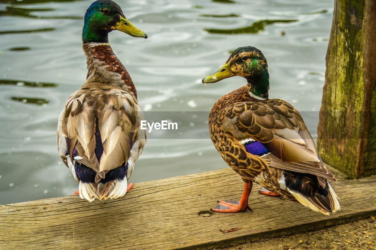 Rear view of two ducks by the lake