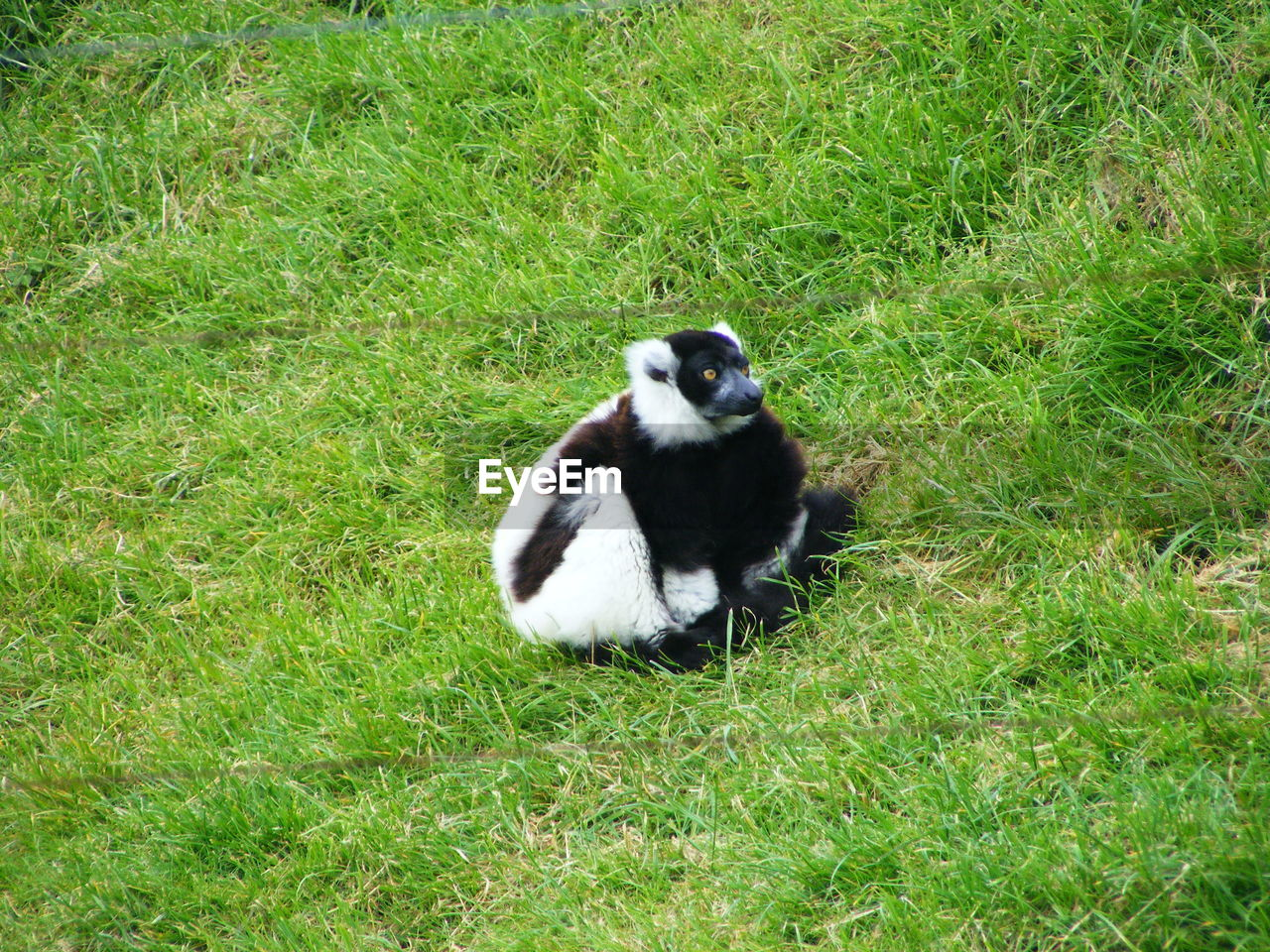 one animal, grass, mammal, plant, vertebrate, animal wildlife, land, animals in the wild, nature, day, field, green color, no people, primate, sitting, lemur, outdoors