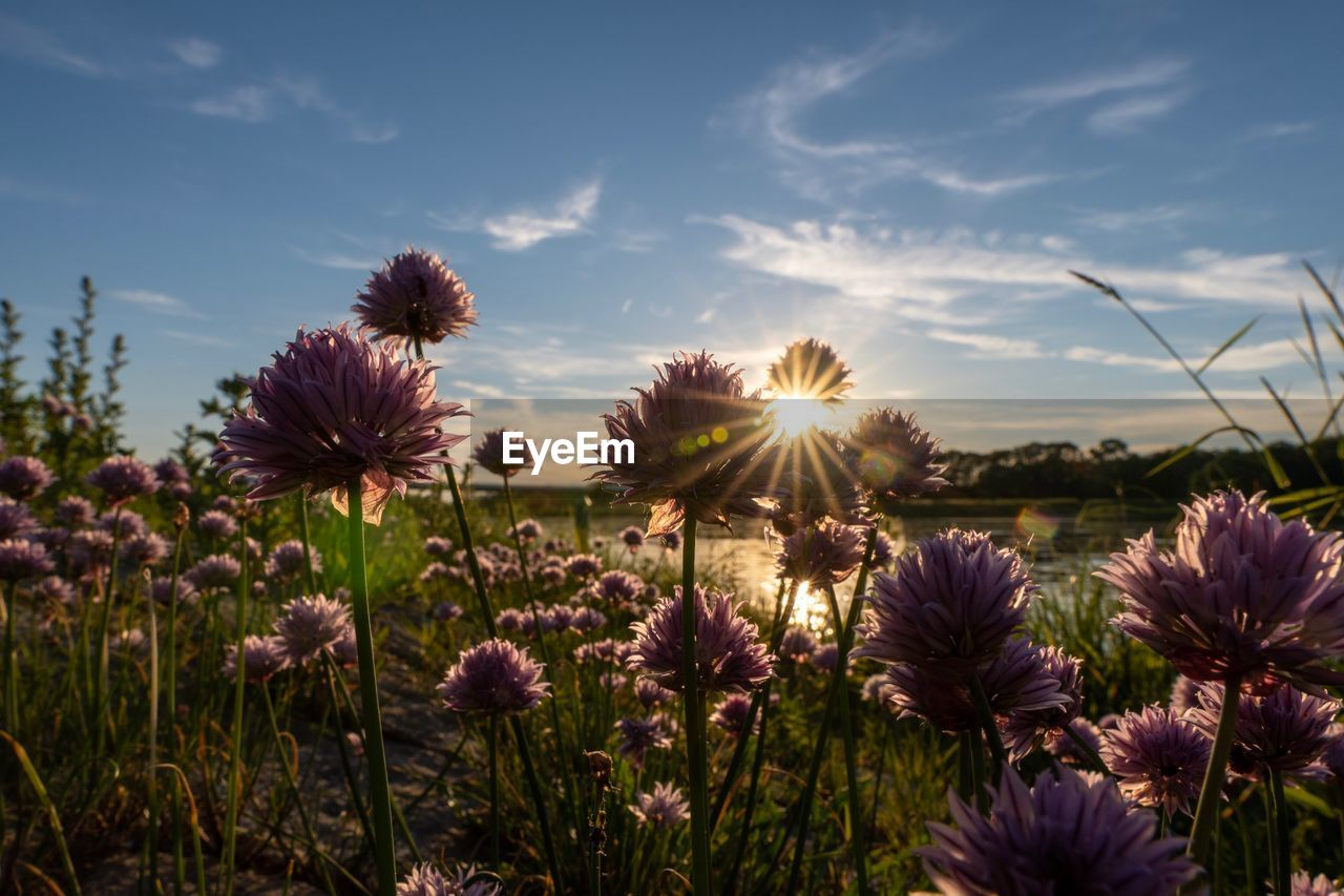 flowering plant, flower, sky, plant, beauty in nature, fragility, growth, vulnerability, freshness, field, nature, flower head, sunset, land, sun, close-up, inflorescence, cloud - sky, no people, petal, outdoors, purple