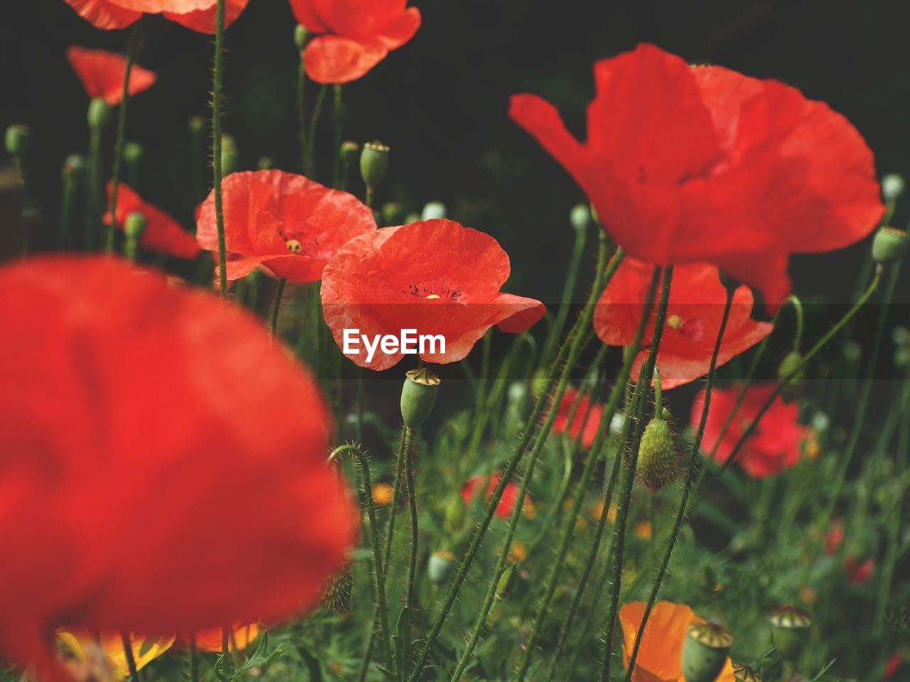 flowering plant, plant, flower, growth, freshness, fragility, vulnerability, beauty in nature, petal, close-up, nature, inflorescence, red, flower head, poppy, no people, field, land, outdoors, day, spring, purity, orange