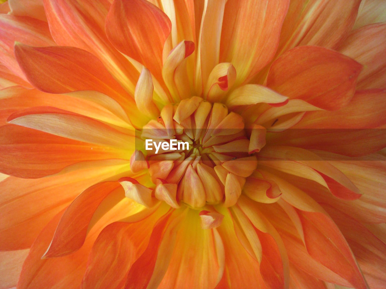 flower, petal, flower head, fragility, beauty in nature, nature, freshness, growth, orange color, pollen, close-up, blooming, backgrounds, no people, full frame, plant, day, outdoors, zinnia