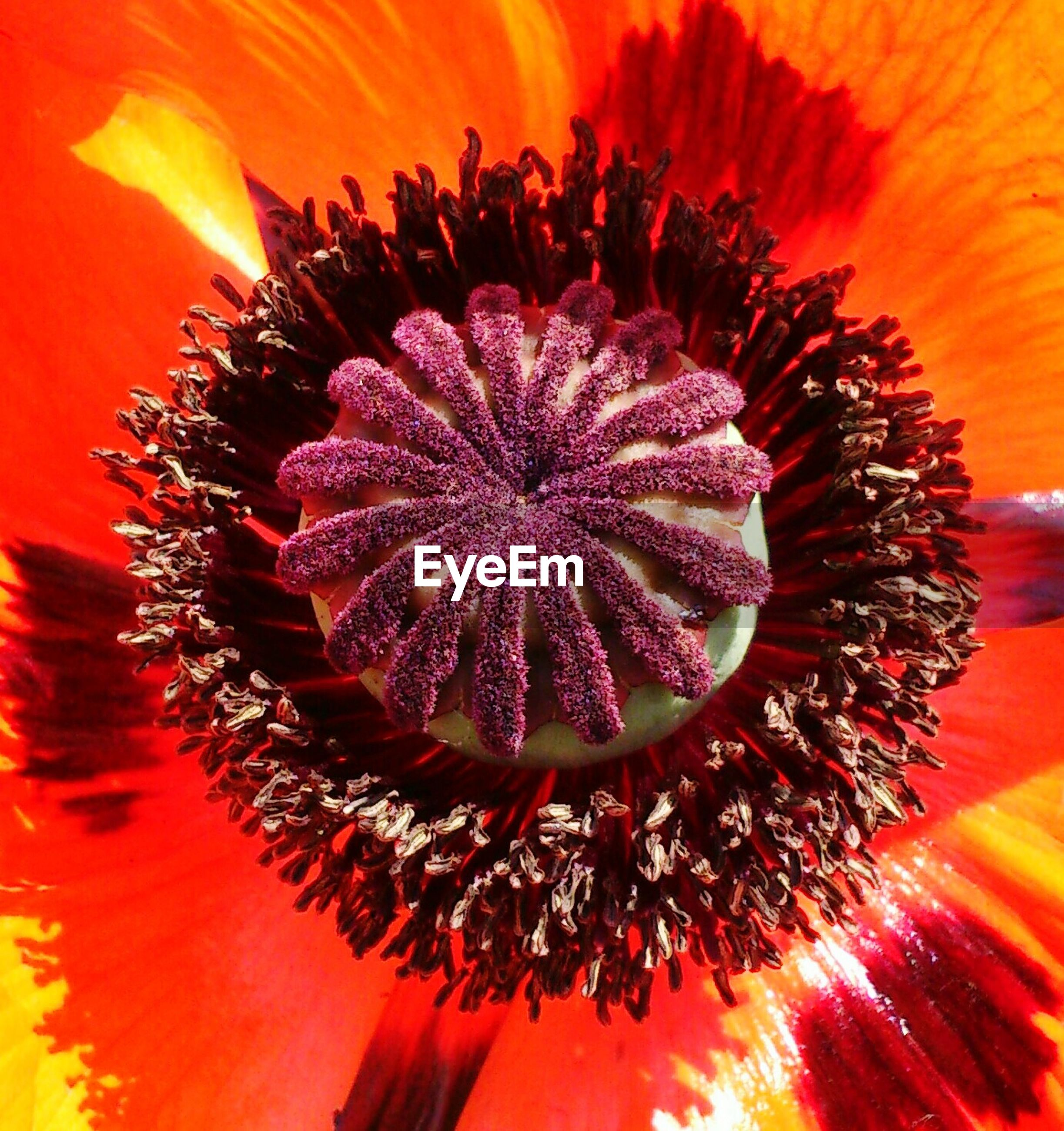 flower, flower head, petal, full frame, freshness, pollen, backgrounds, single flower, beauty in nature, red, orange color, close-up, fragility, nature, stamen, extreme close-up, blooming, vibrant color, growth, natural pattern