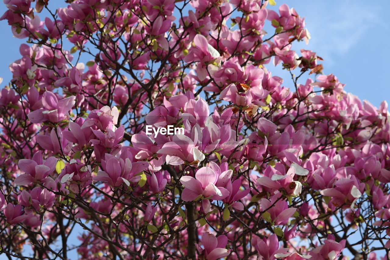 flower, flowering plant, pink color, plant, fragility, beauty in nature, vulnerability, growth, freshness, nature, branch, tree, day, blossom, close-up, low angle view, springtime, sky, no people, outdoors, flower head, lilac, cherry blossom, cherry tree, spring