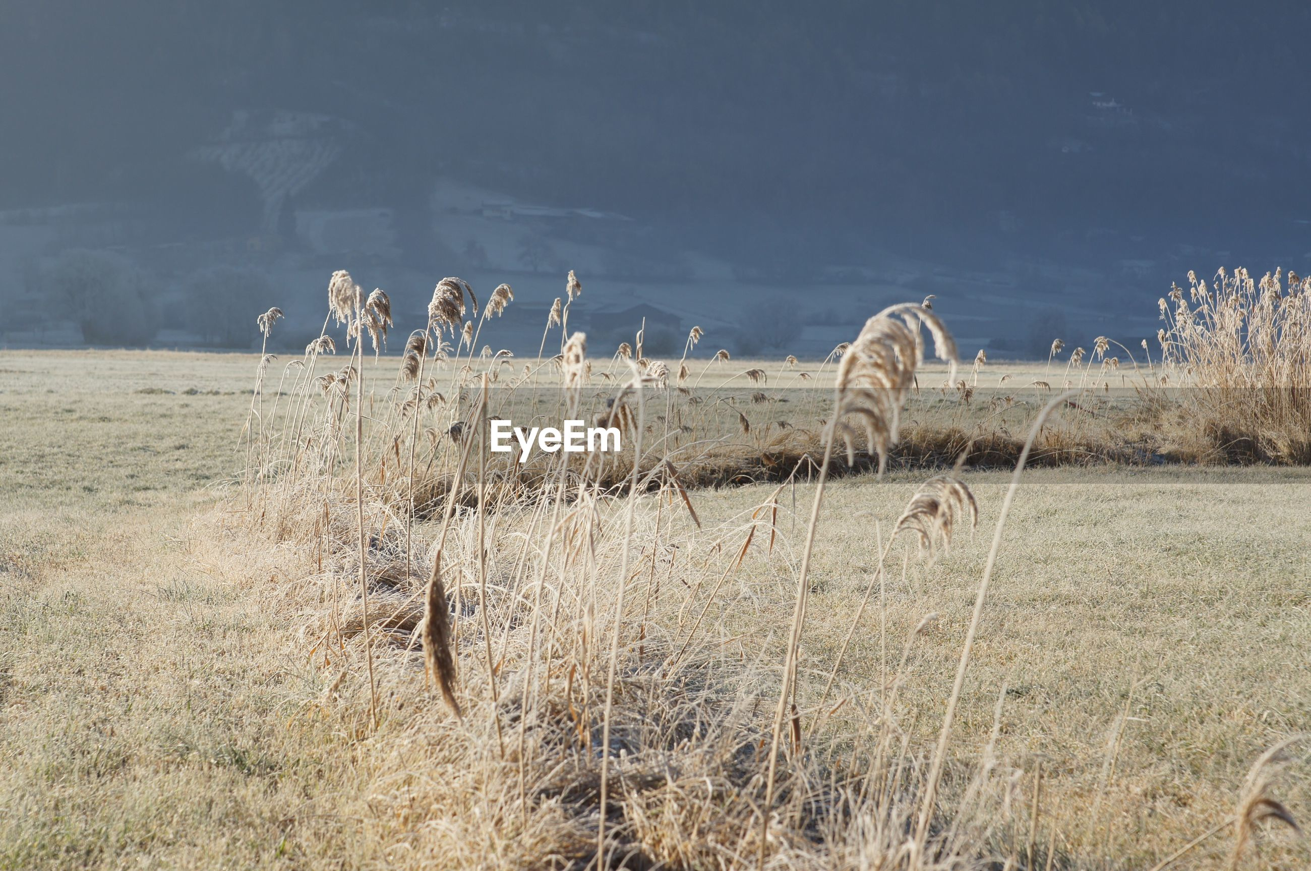 Dried plants on field during winter