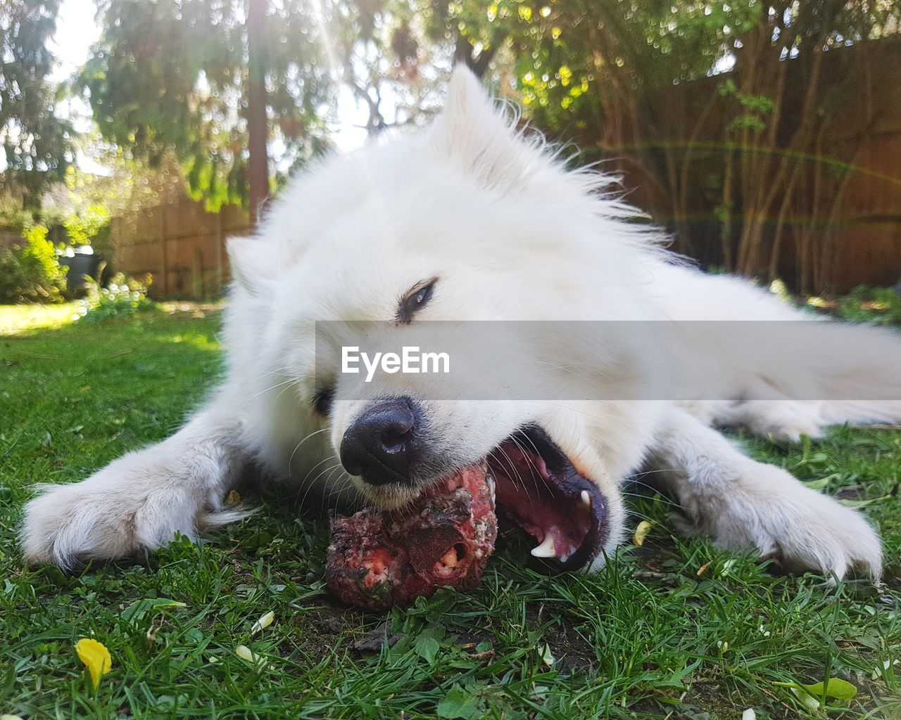 one animal, animal themes, mammal, animal, domestic, pets, canine, dog, plant, vertebrate, domestic animals, grass, nature, land, no people, field, day, relaxation, white color, close-up, animal head, mouth open, pomeranian