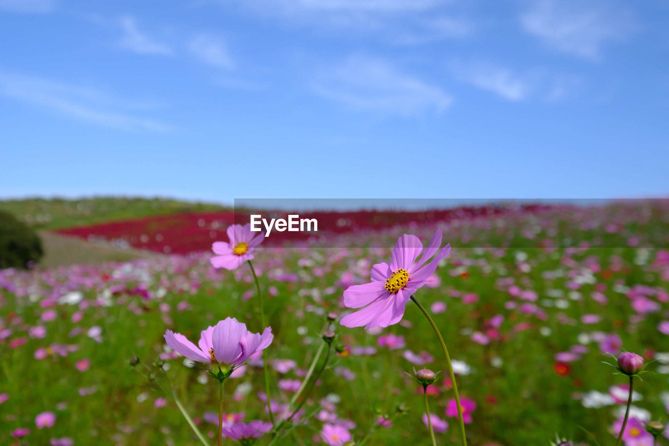 CLOSE-UP OF COSMOS BLOOMING ON FIELD AGAINST SKY