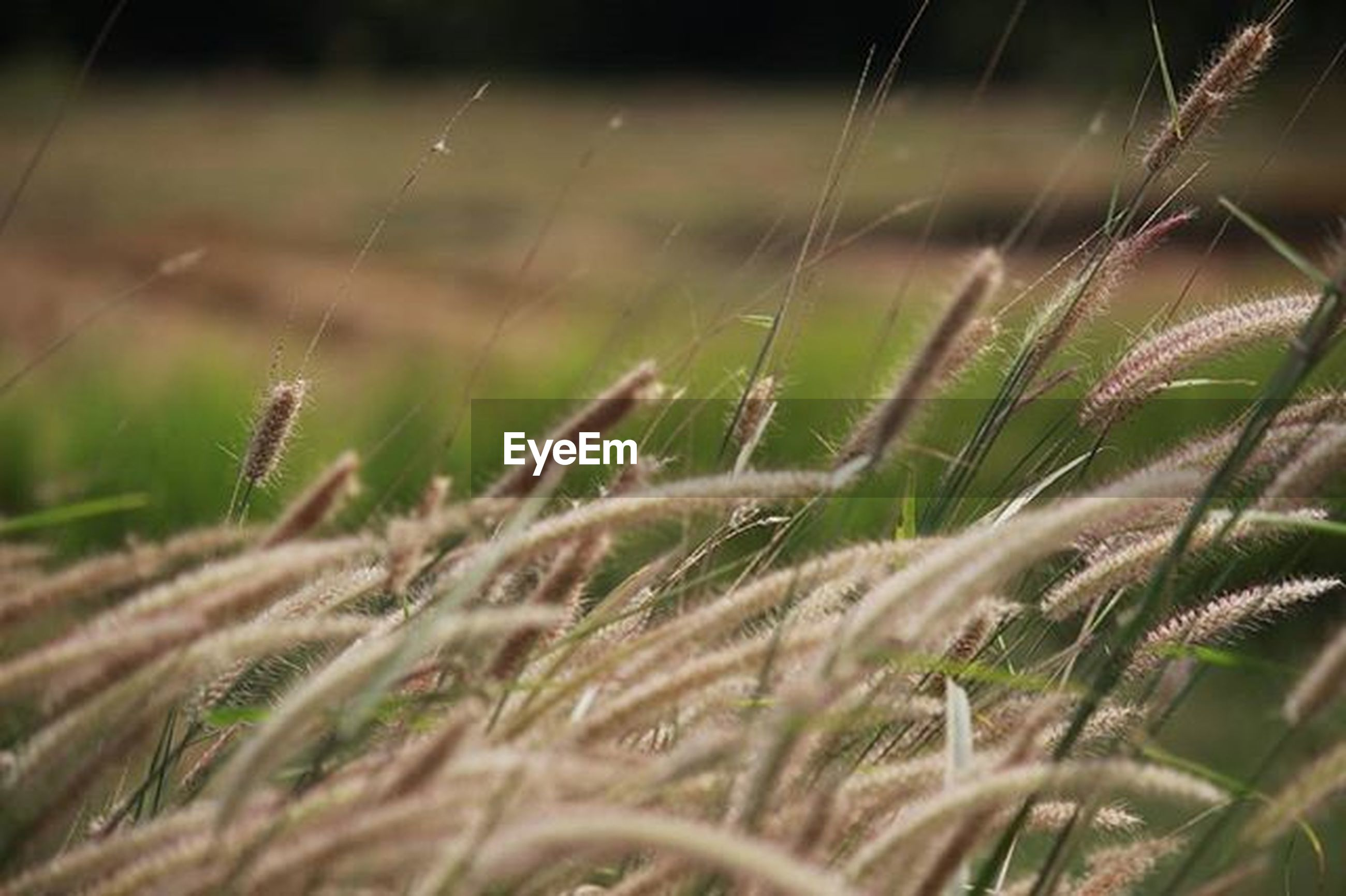 nature, cereal plant, growth, no people, agriculture, outdoors, close-up, day, plant, field, tranquility, rural scene, beauty in nature, grass, wheat, freshness